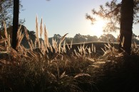 Myrtlewood Pine Hills